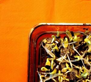 Germogli da semi di girasole